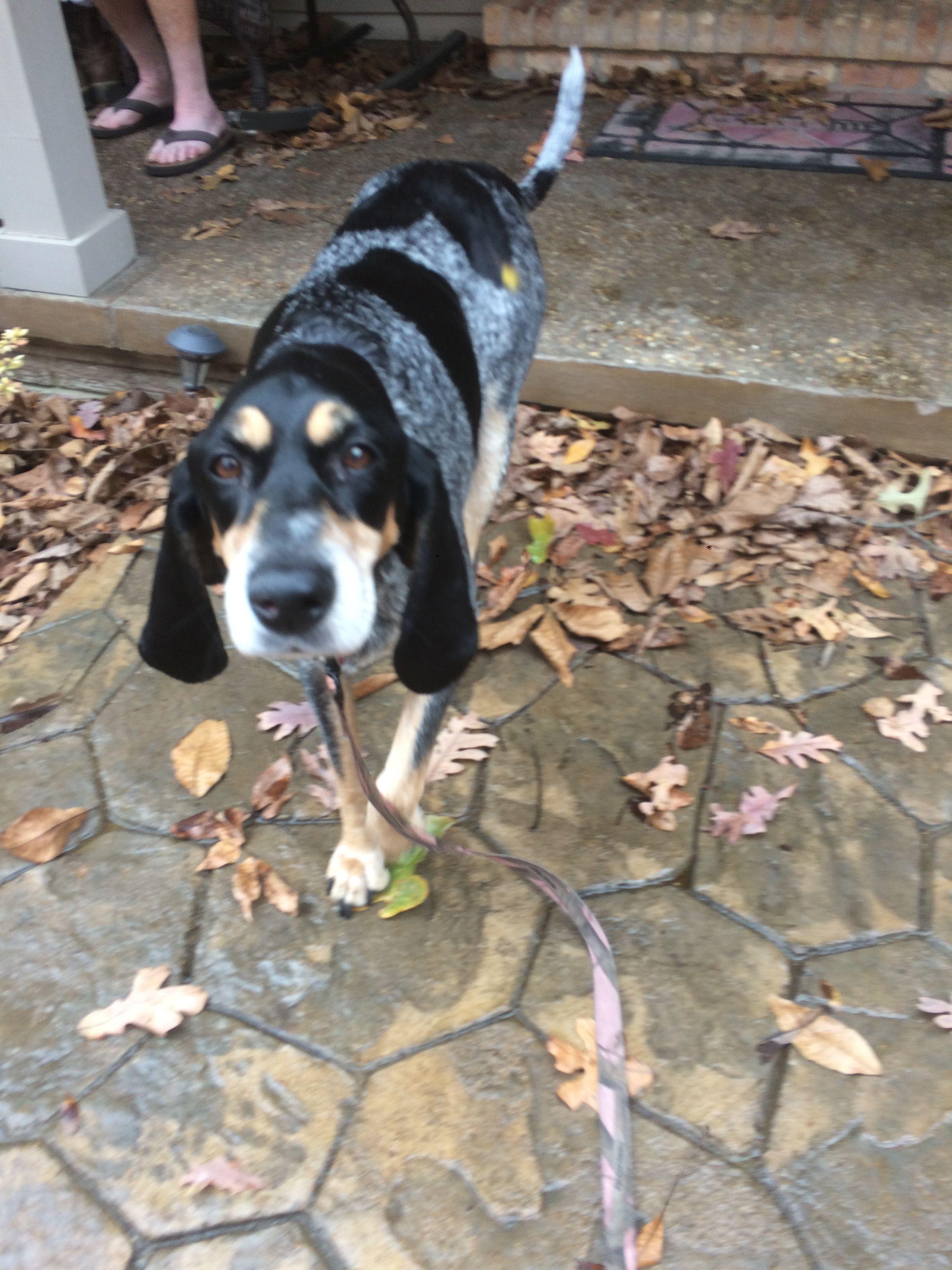 Beautiful Georgia Rose A Bluetick Coonhound From Kentucky
