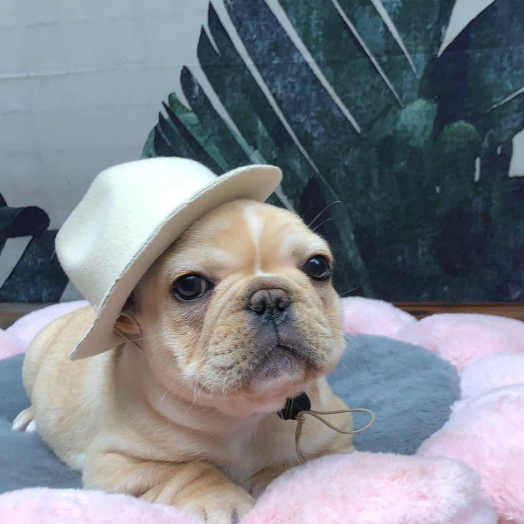 Frenchbulldog Babydog Hongkong French Bulldog Frenchie