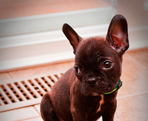 the french bo(french bulldog and bostson terrier mix)...this is what my little Jango is. They are the best!