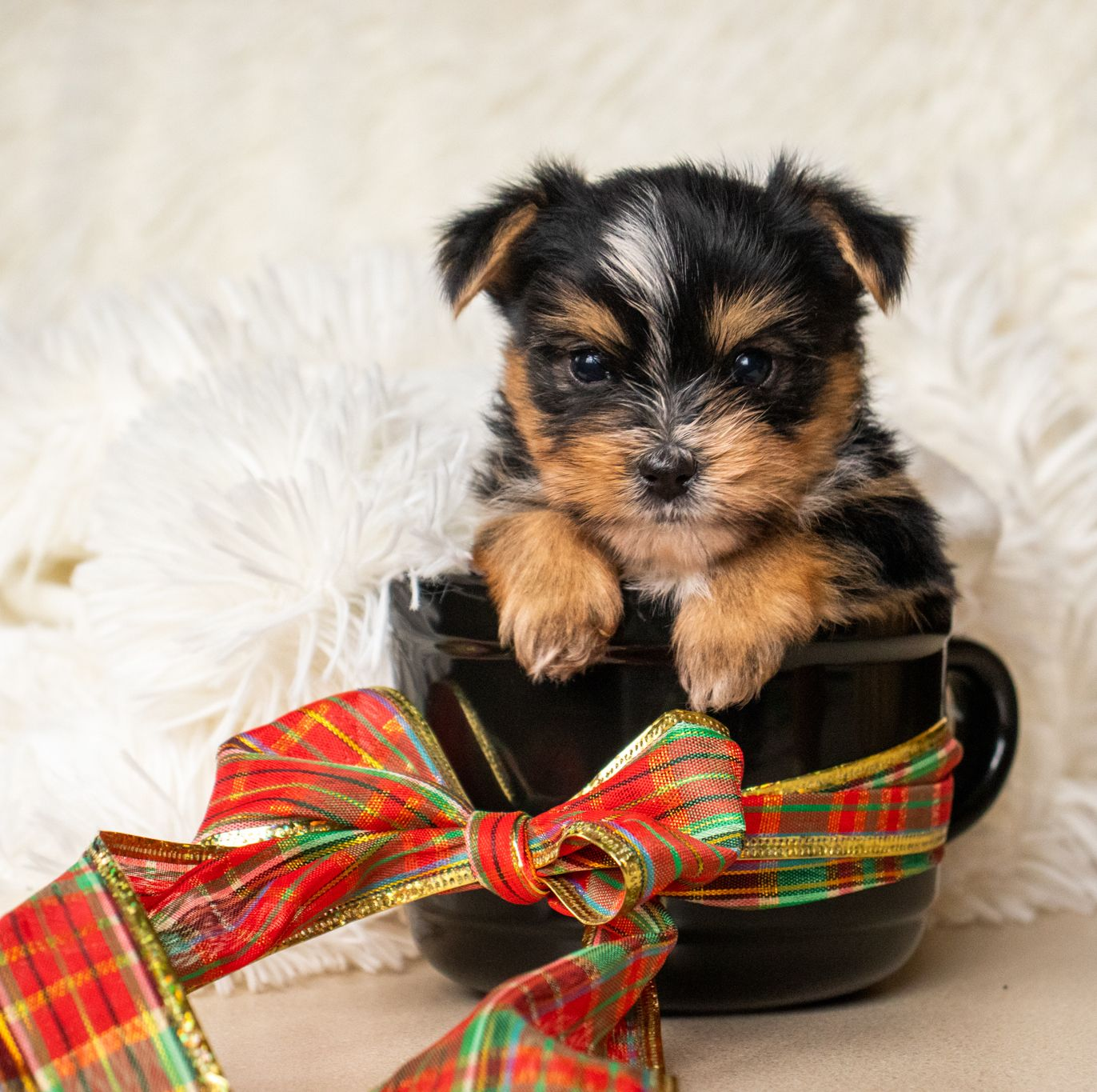 Puppies For Sale In 2020 Yorkshire Terrier Puppies Yorkshire Terrier Terrier