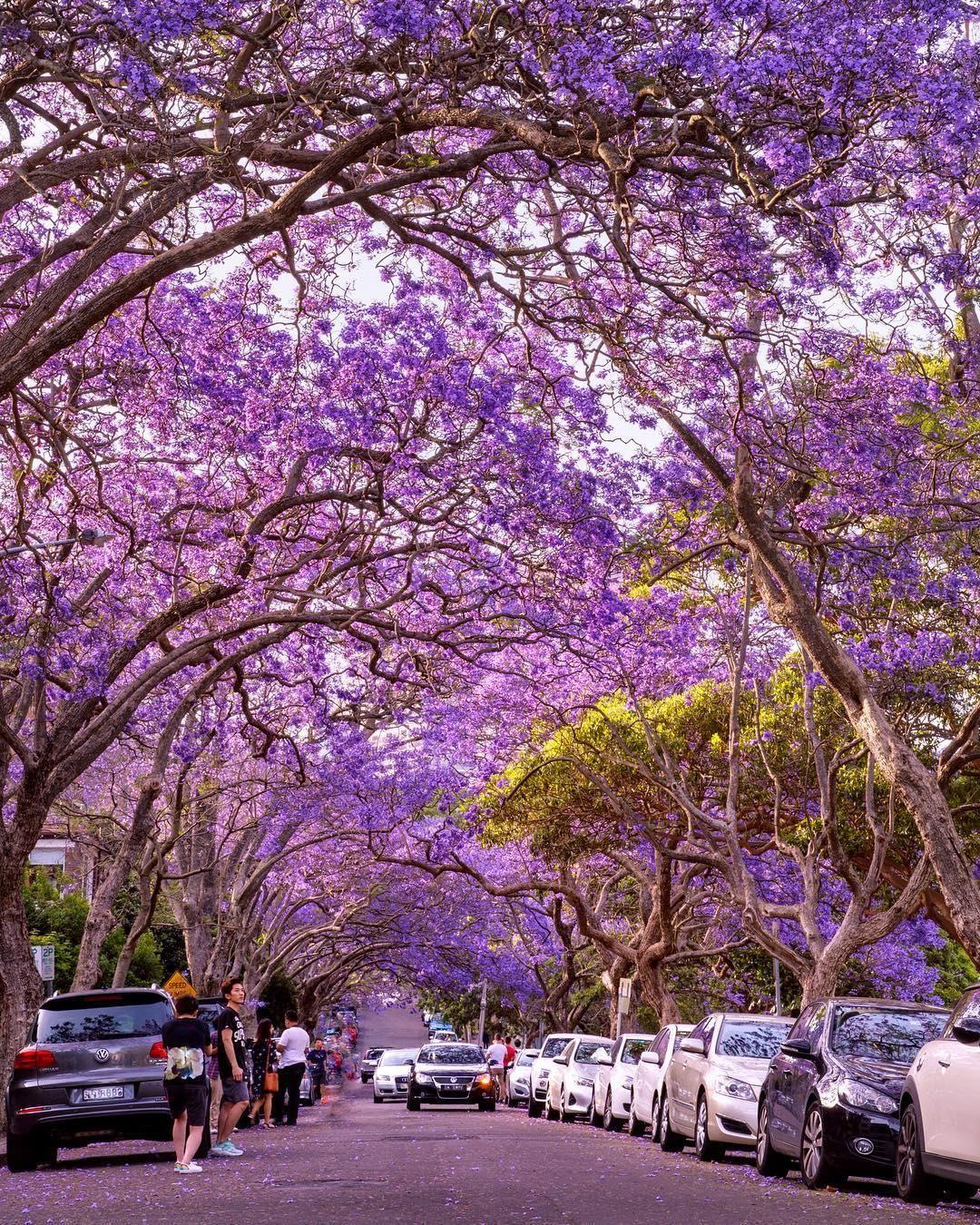Australia On Twitter Jacaranda Tree Flowers Australia Purple Trees