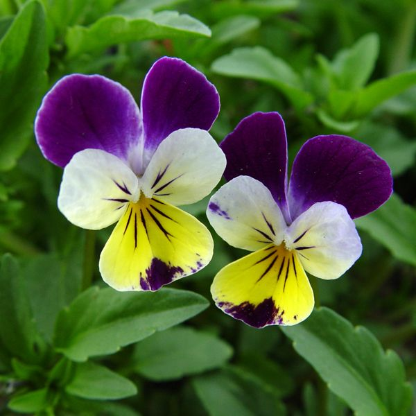 Sunday Slide Show Pansies Violas And A Violet Or Two Pansies Flowers Beautiful Flowers Pictures Johnny Jump Up