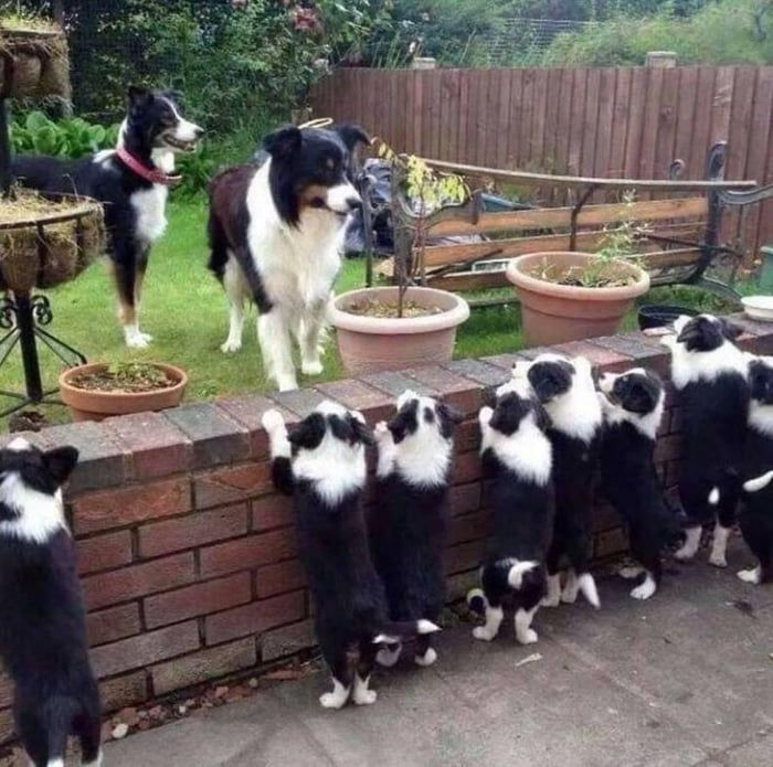 New Border Wall 2019   Animals, Collie dog, Collie puppies