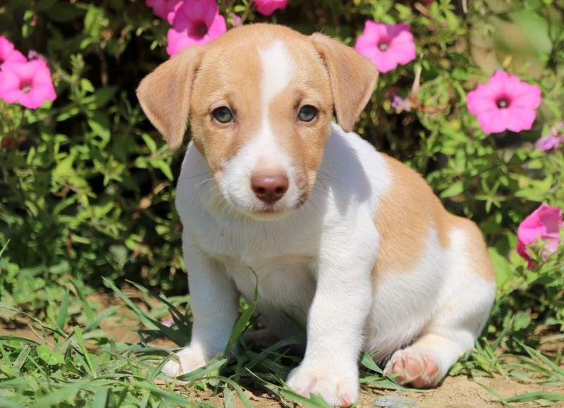 Rolojack Russell Terrier Akc Dog Breed Akc Dog Breeds Puppy Adoption Dog Adoption