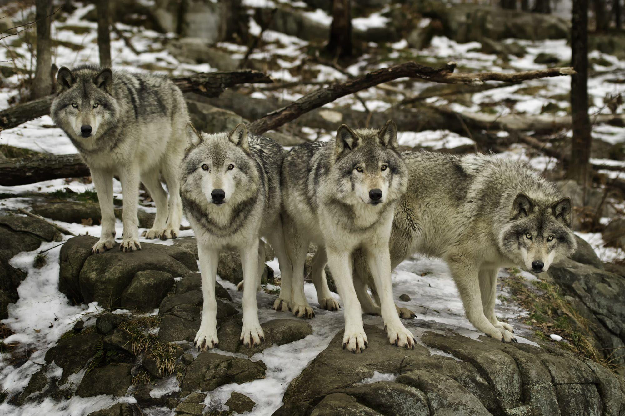 Family portrait 500px wolf dog arctic animals family