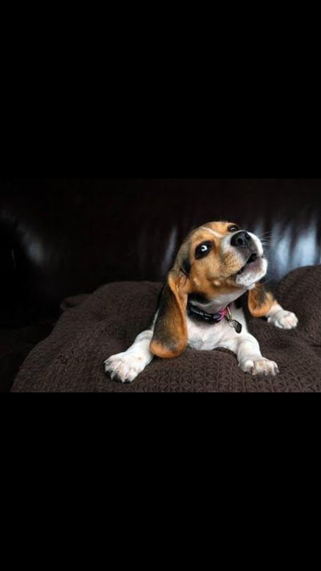 The Windup The Arooooo Cute Dogs Beagle Puppy Dog Breeds