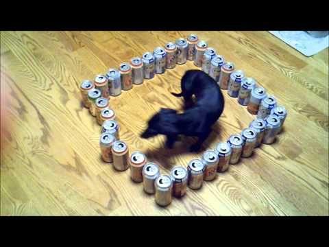 dumb vs  smart wiener dog | Funny Doxies | Dumb dogs, Cute