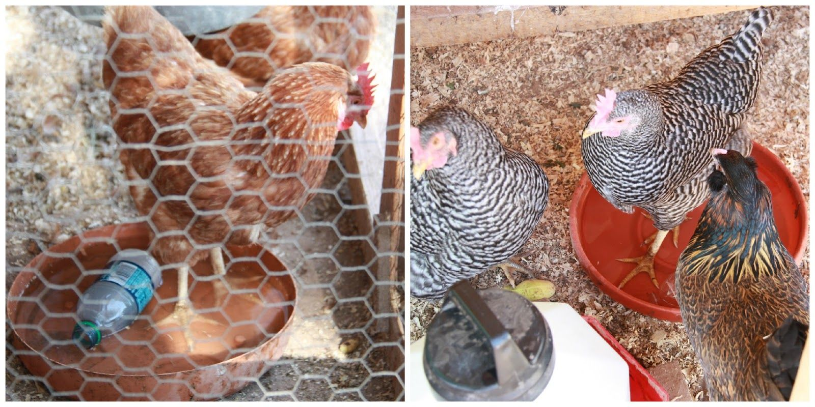 Caring for Your Chickens in the Heat | Pet chickens ...