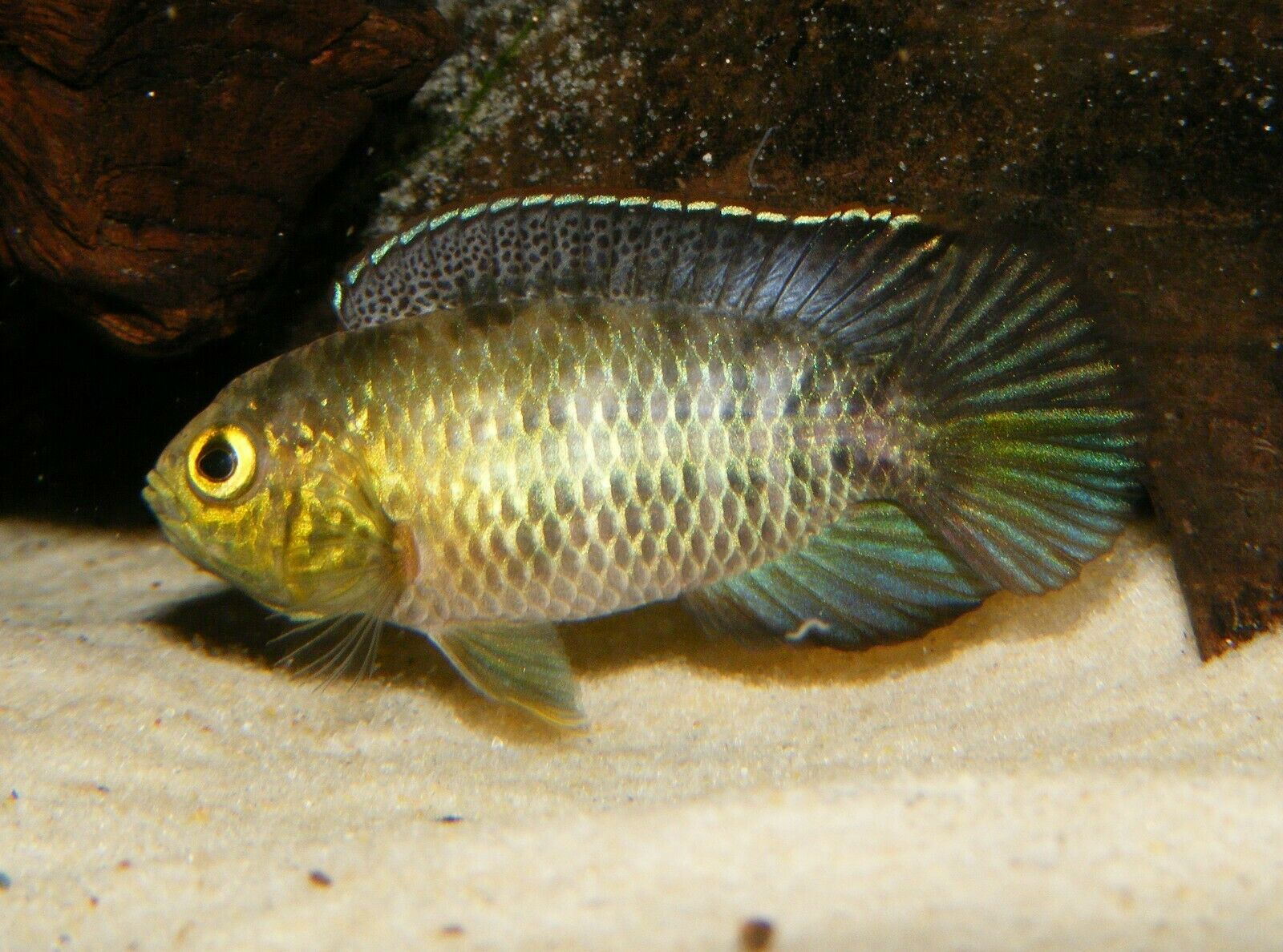 Pin Op West African Cichlids
