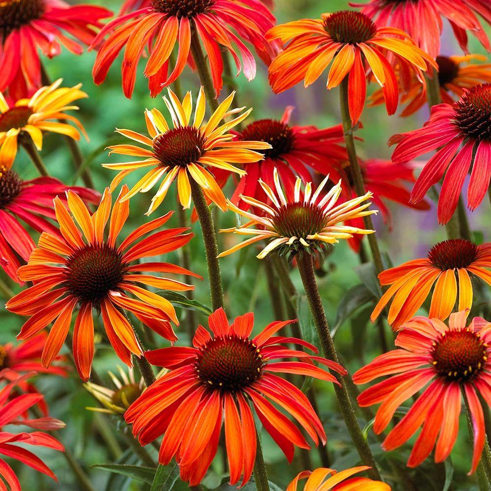 Echinacea Hot Summer J Parker Dutch Bulbs Flowers