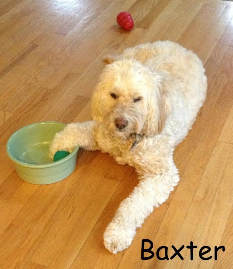 Adopt ma baxter on adoption poodle dogs