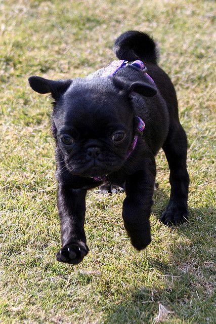 Black Pug Puppy Romping In The Yard Black Pug Puppies Black Pug