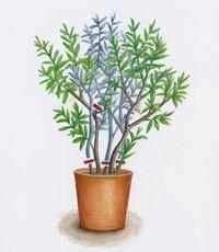 oleander schnitt zeichnung msg sabine dubb garten garten oleander pflege und gem segarten. Black Bedroom Furniture Sets. Home Design Ideas