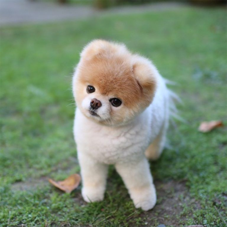 Photo of Pomeranian, Pomeranian Lulu, Pomeranian, Toy Pomeranian, Pomeranian Dog, Little Dogs …