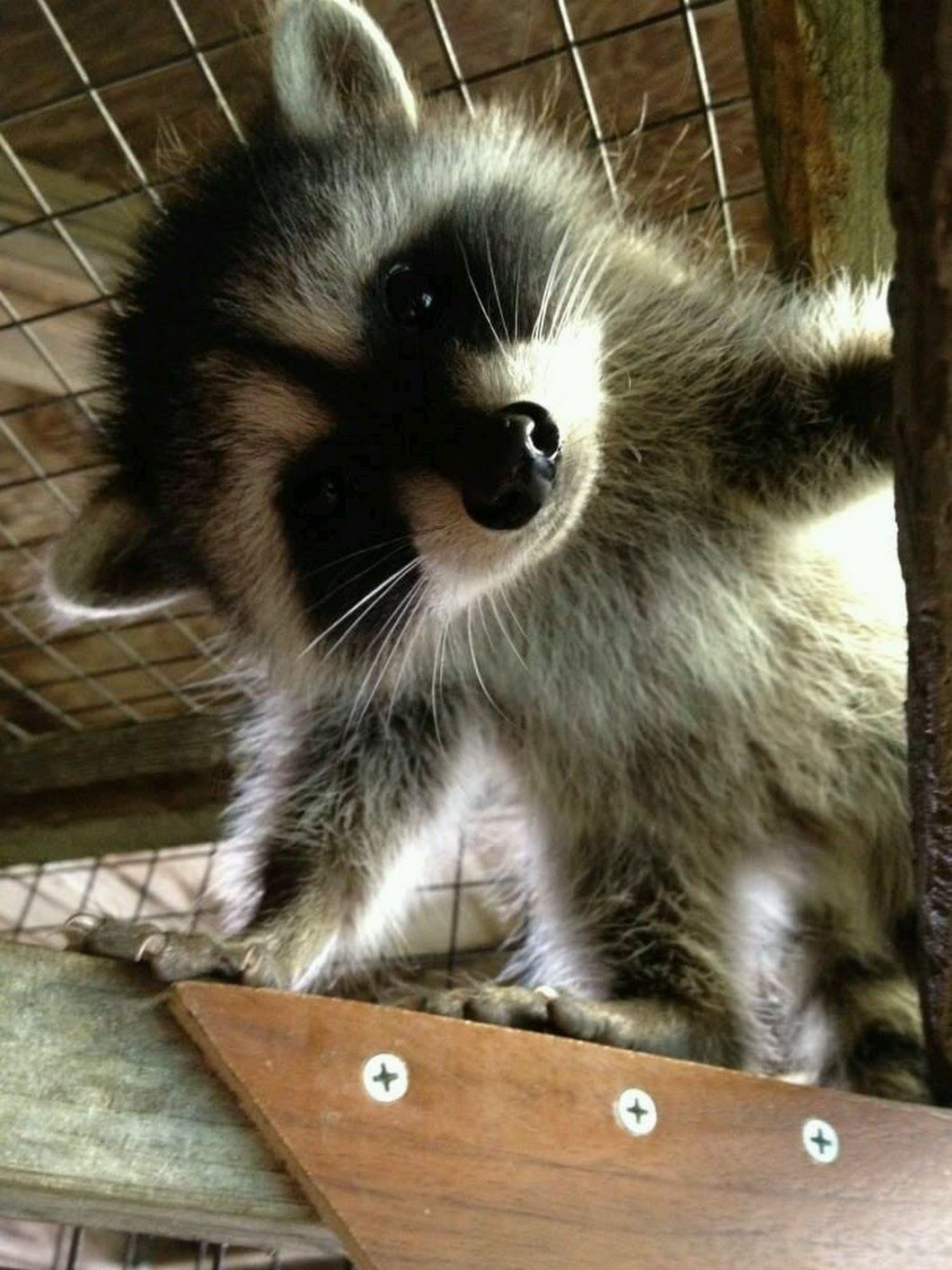 Scary Face Racoon likes keeping people hostage. | Cute stuff ...