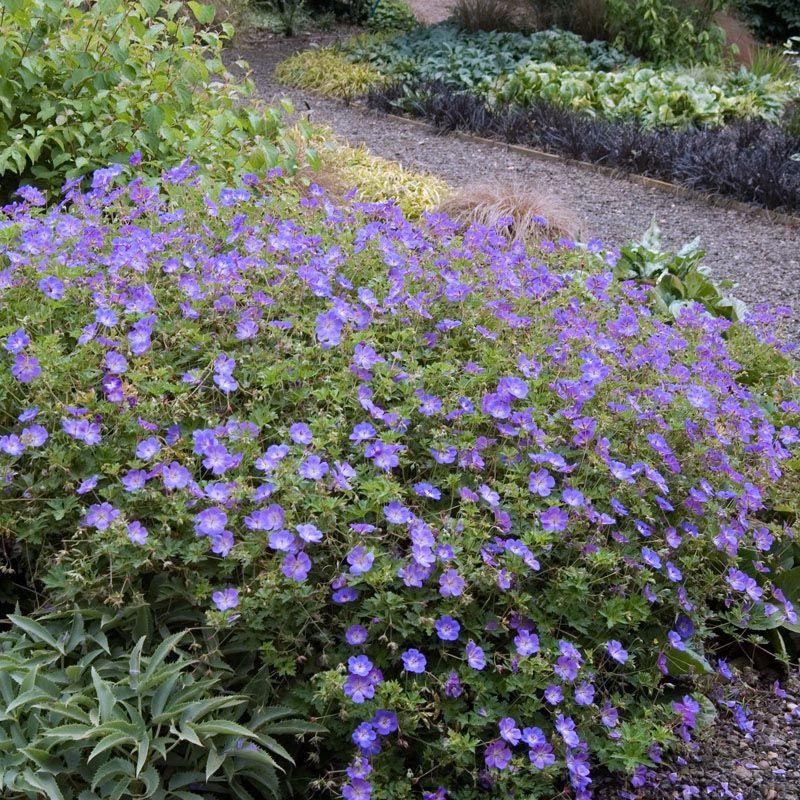 Geranium Rozanne Outside Perennial