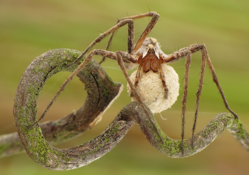 """Look closely..this is a nursery web spider...found one 4"""" in diameter..IN MY HOUSE!  Creepy!!"""