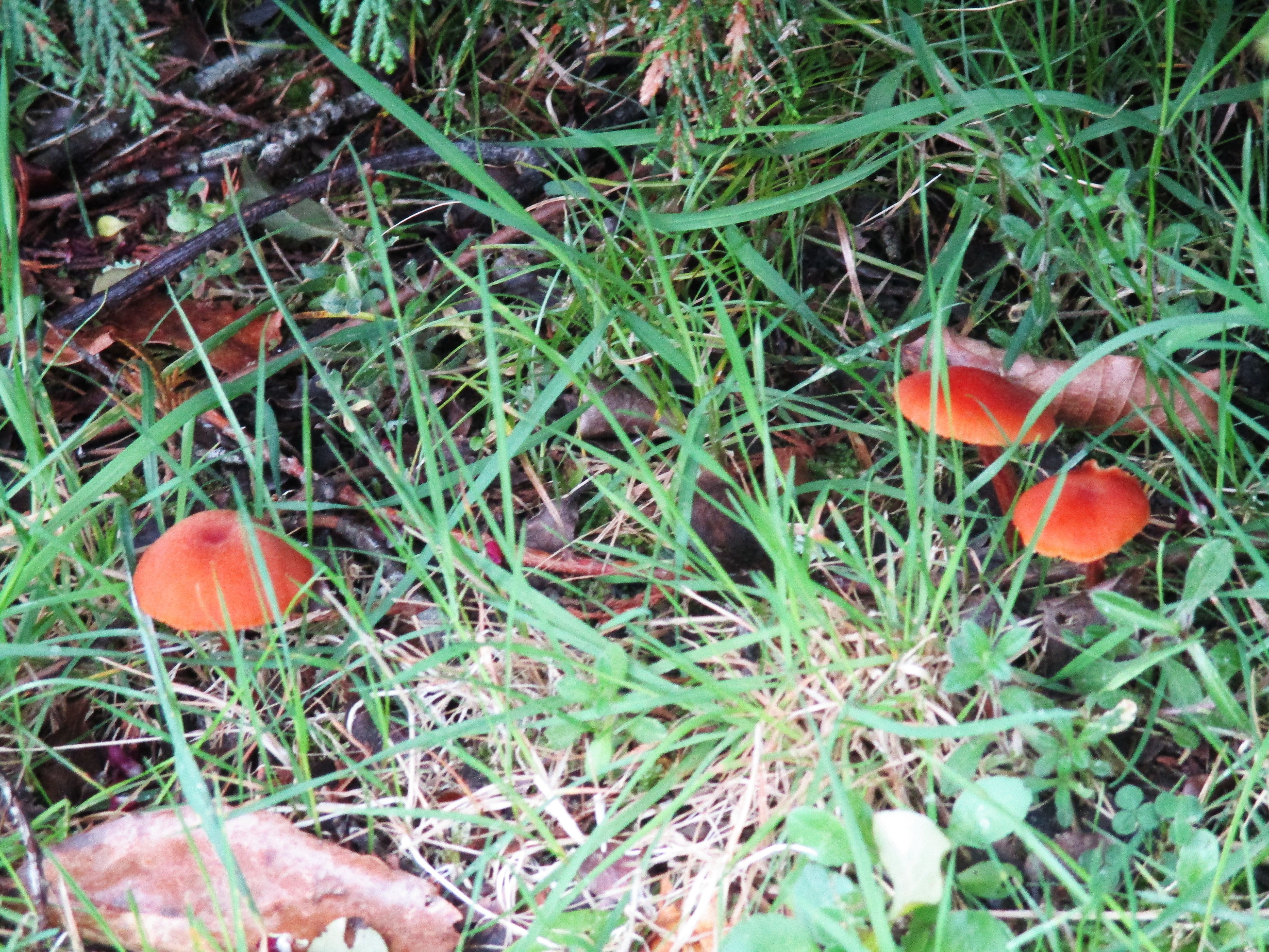 Photo I took of poisonous mushrooms growing in our yard ...