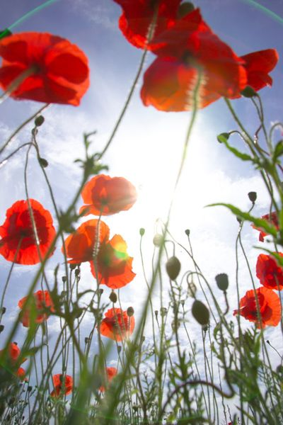Poppies dancing in the sunlight