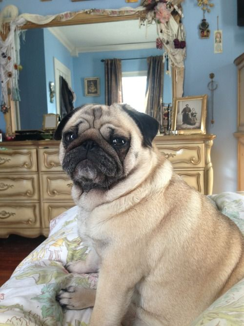 Today I Will Be Having Breakfast In Bed Pugs Funny Pug Love