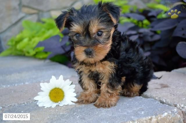 Yorkshire Terrier Puppy For Sale In Ohio Yorkshire Terrier Puppies Puppies For Sale Yorkshire Terrier