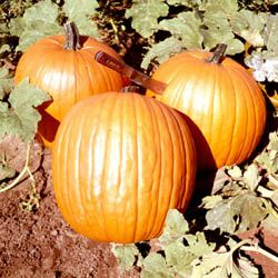Pumpkin Howden Pumpkin Pumpkin Vegetable Growing Pumpkins