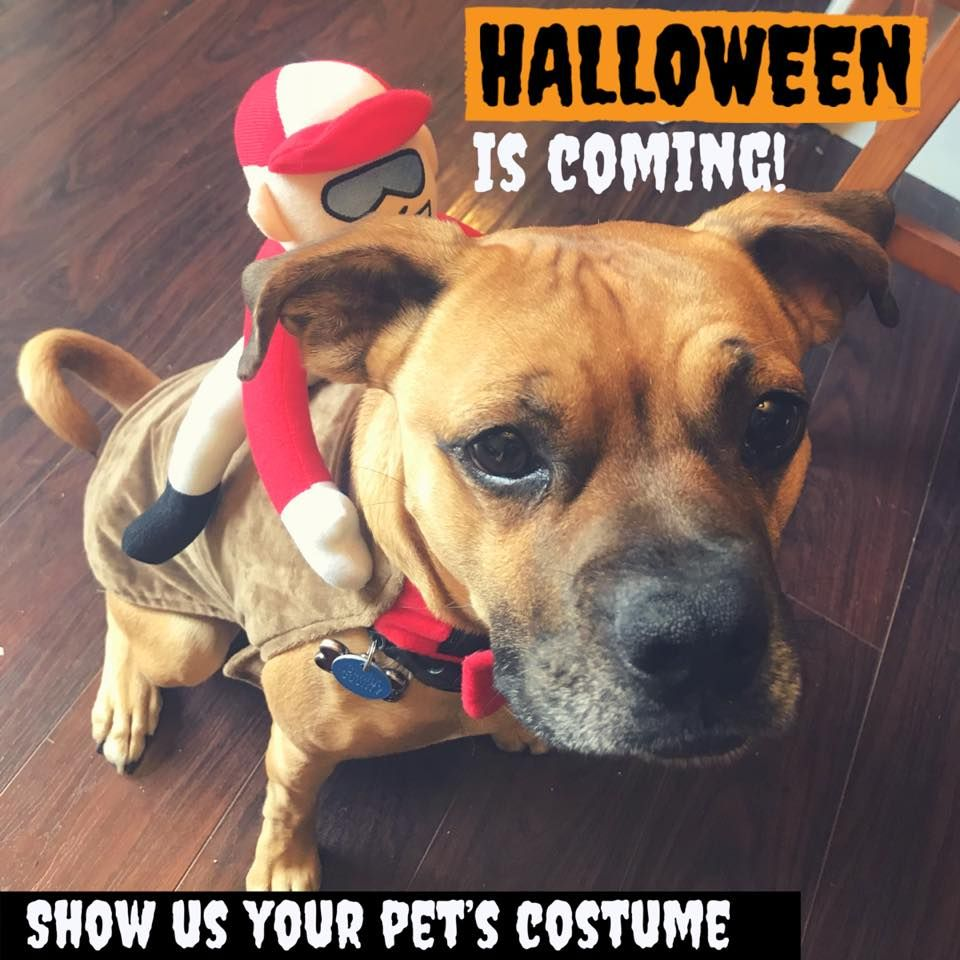 What is your pet dressing up for Halloween? Boxer rescue