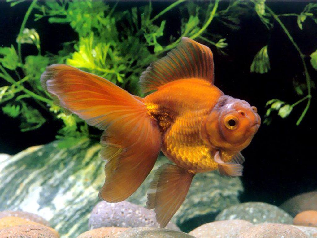 Freshwater fish china - Chinese Goldfish Fantail Goldfishfreshwater Fishaquarium