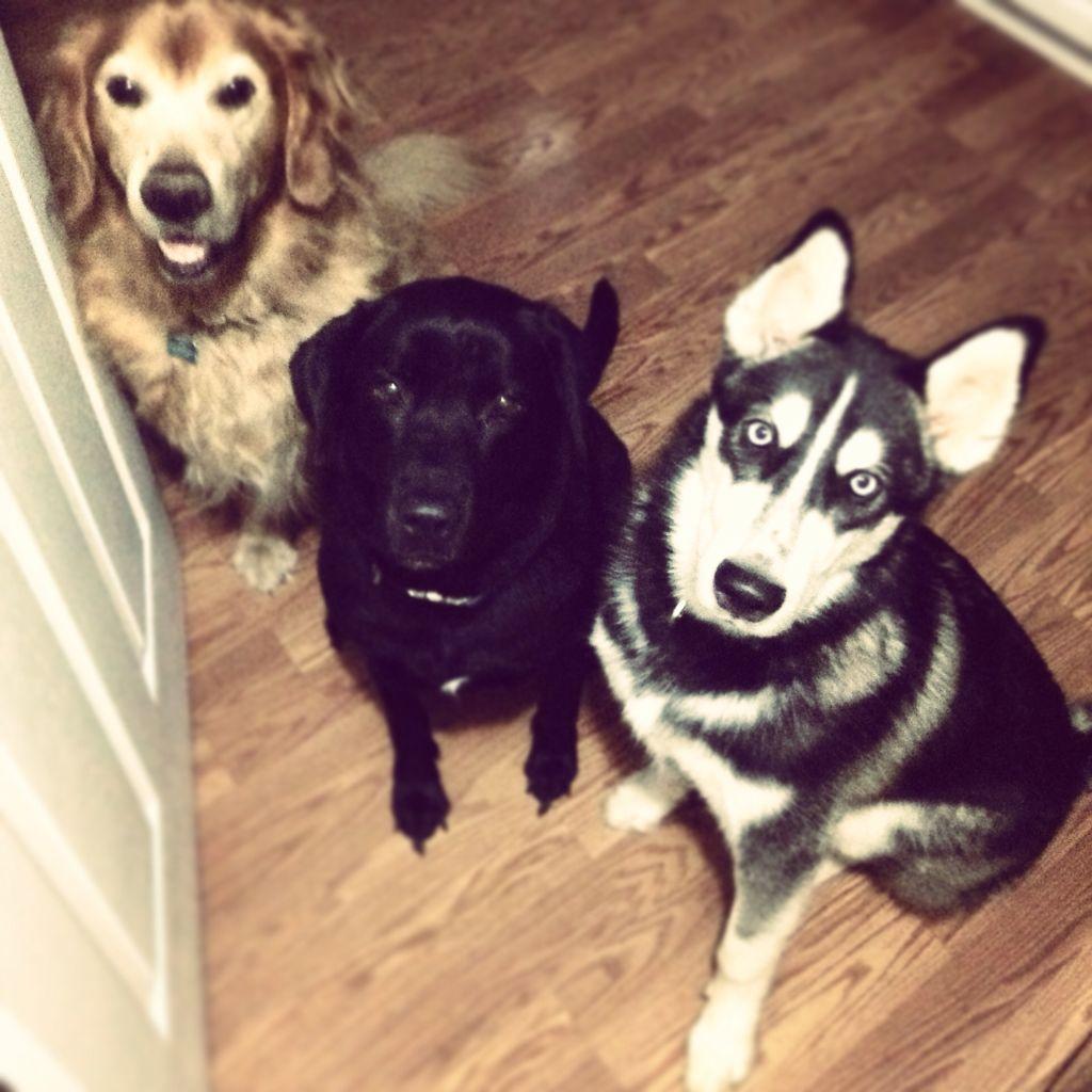 My 3 boys. Hemi (Golden Retriever) Diesel (Black Lab) Koda (Husky)