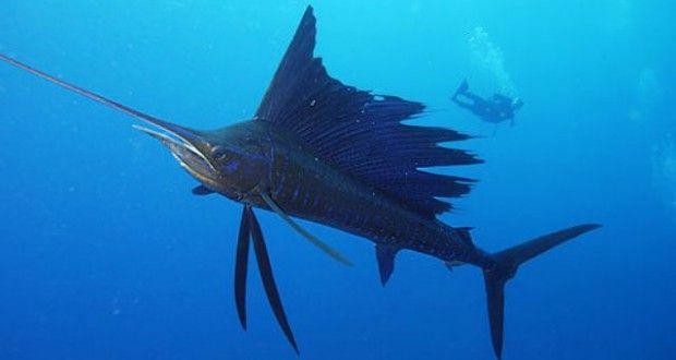 Top 10 loài cá bơi nhanh nhất Đại Dương