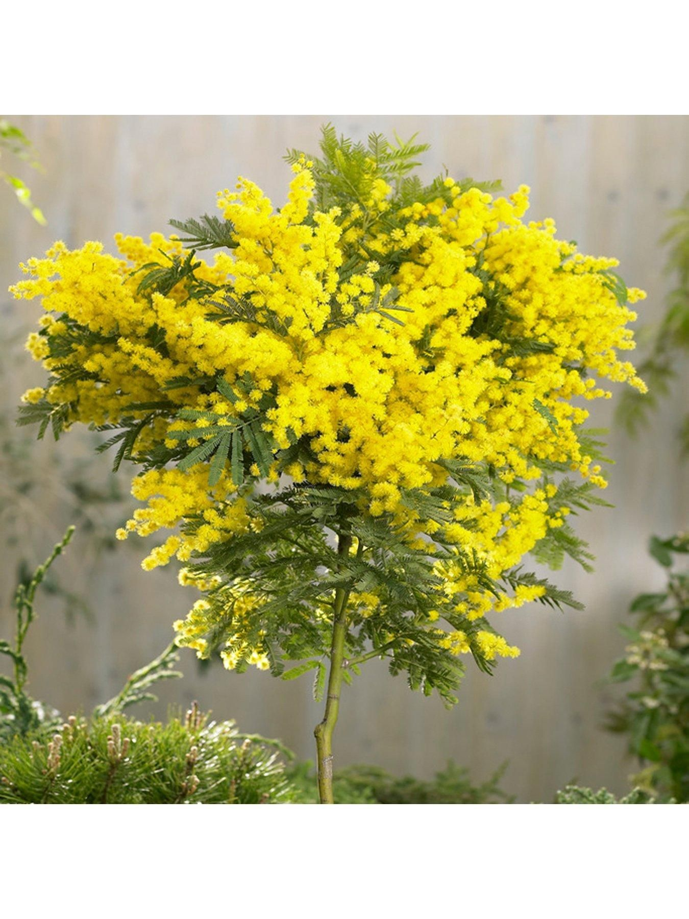Acacia Mimosa Standard 90cm Tall One Colour 90cm Acacia Colour Mimosa Standard Tall In 2020 Mimosa Tree Yellow Flowers Home And Garden