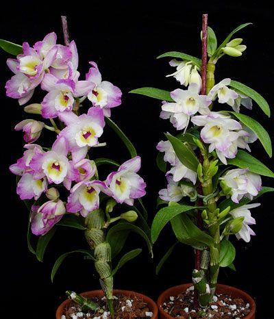Nobile Type Dendrobium Care Dendrobium Orchids Care Dendrobium Orchids Dendrobium Nobile