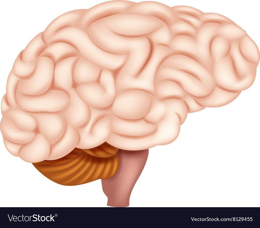 Download Human Brain Anatomy vector image on (Görüntüler ile ...