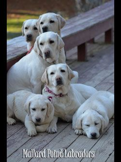 Mallard Point Kennel Labrador Puppies Lab Puppies Pownal
