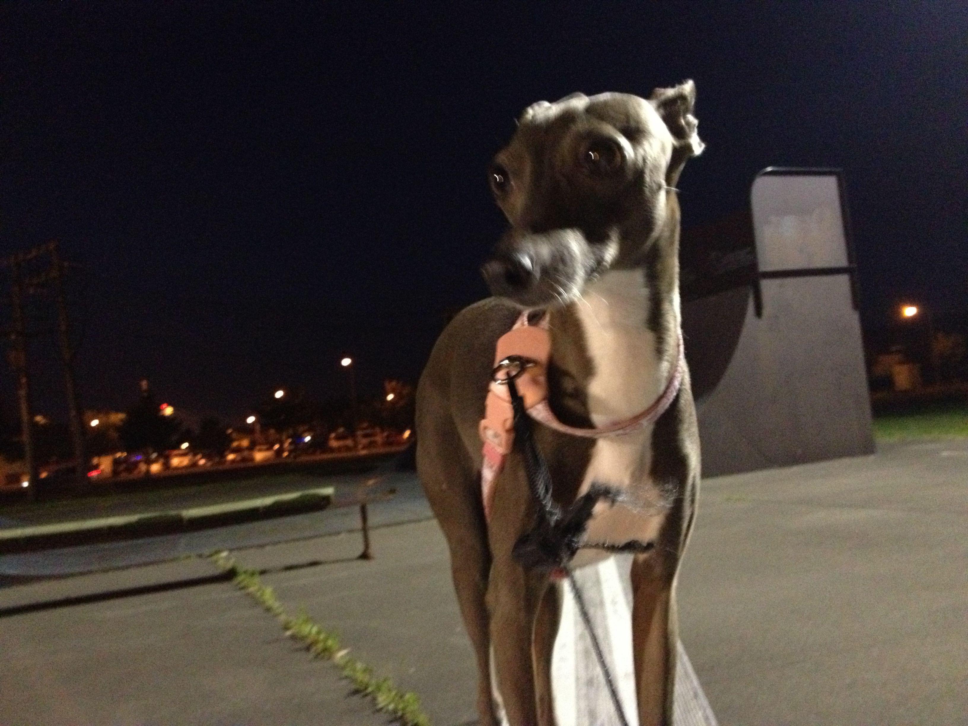 Italian Gray hound