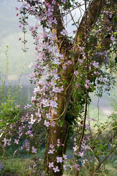 Clematis montana 'Rubens' sætter overdådigt ind i maj. Partielt på hegn mod nabo
