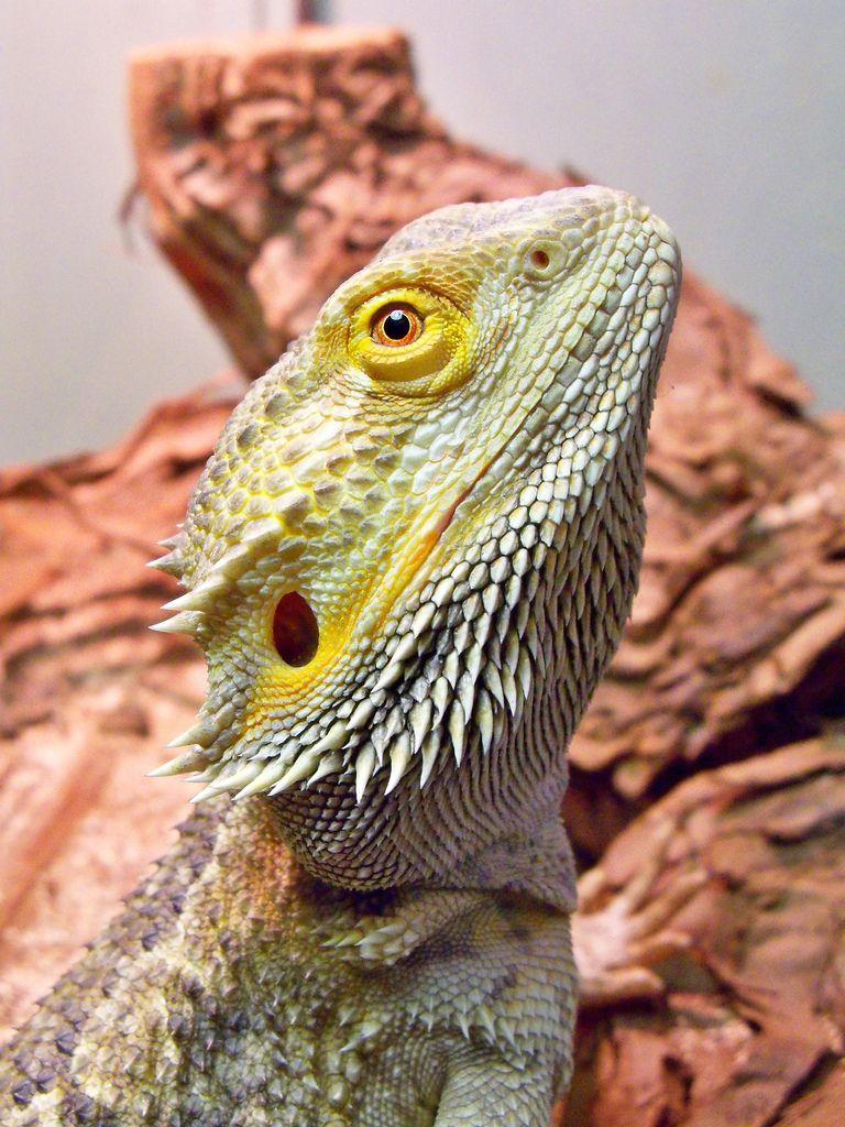 Pin By Fae Ruby Walker On Bearded Dragon In 2021 Bearded Dragon Baby Bearded Dragon Big Iguana