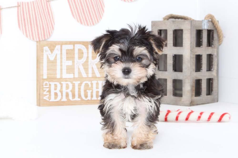 Puppies for Sale in Florida and Nationwide Morkie