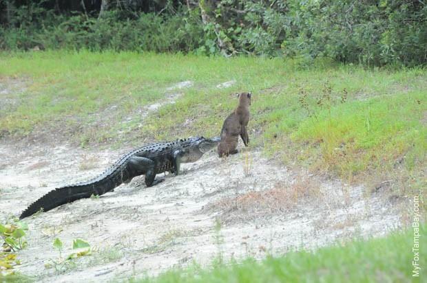 alligator sneaking up on a bobcat   he got away | Bernie | Tampa bay