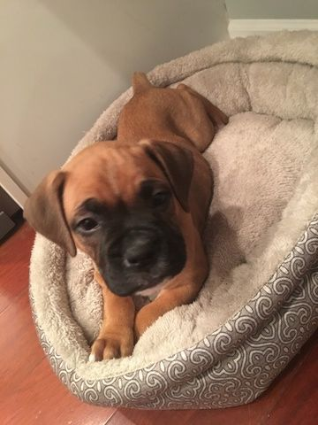 Boxer puppy for sale in INDIANAPOLIS, IN. ADN52411 on