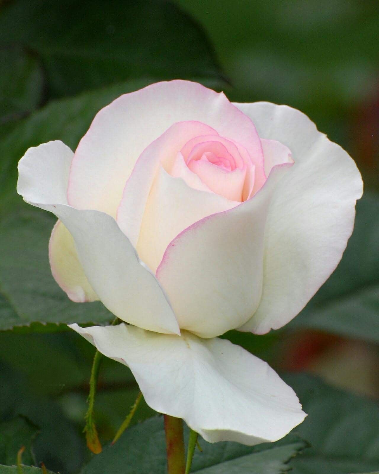 Pale Pink Rose Flowers Pinterest