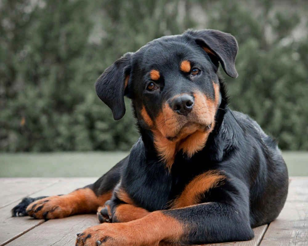 More About The Calm Rottweiler Exercise Needs Rottweilerworld