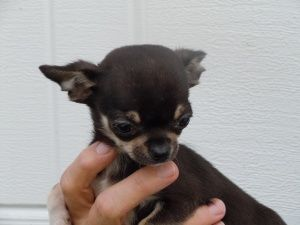 Adopt Jojo On Chihuahua Puppies Baby Chihuahua Chihuahua Dogs