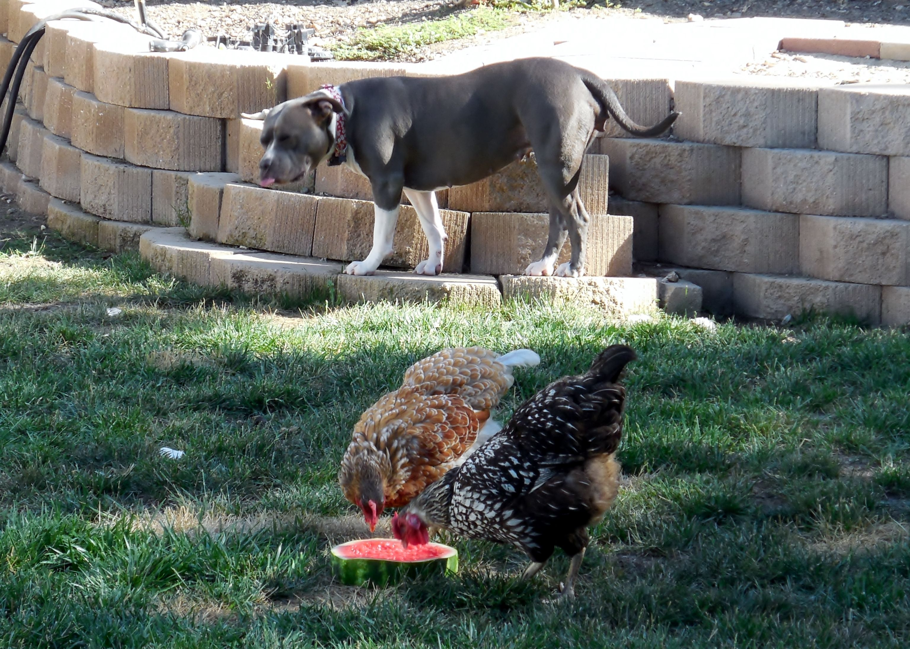 Halo and the Wyandotte Chickens