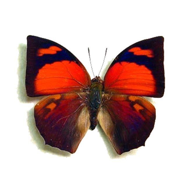 Butterfly Species, Insects