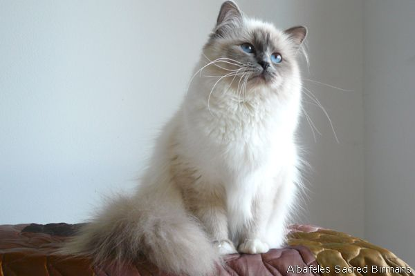 Sacred Birman Blue Point Beautiful Cats Cats And Kittens Cute Cats And Kittens