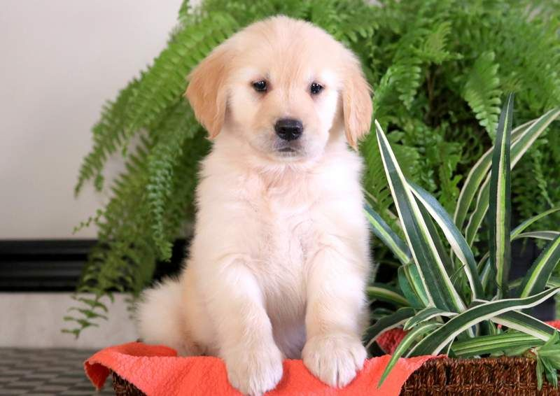 Golden Retriever Puppy For Sale In Mount Joy Pa Adn 71343 On Puppyfinder Com Gender Female Age 8 W Golden Retriever Puppies For Sale Dogs Golden Retriever