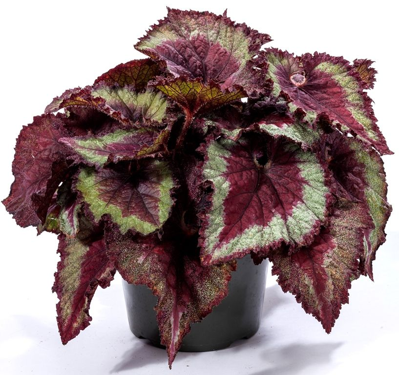 Begonia Shadow King Shadow King Bonsai Flower Begonia
