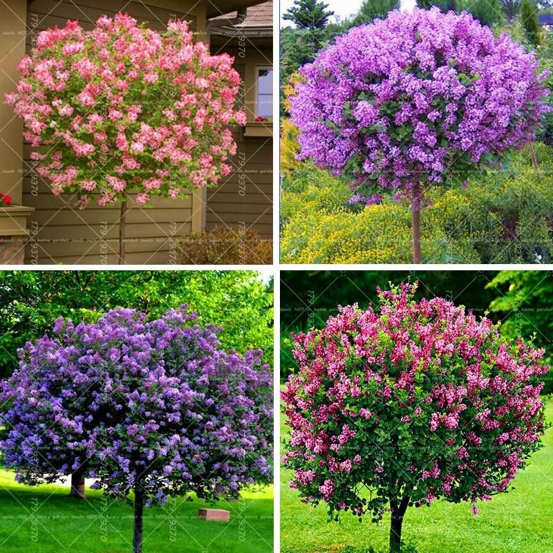 Plant A Blooming Lilac Tree Outside Your Bedroom Window And Let Mother Nature Be Your Air Freshener The Smell Of The Lilac Is To Lilac Tree Plants Tree Seeds