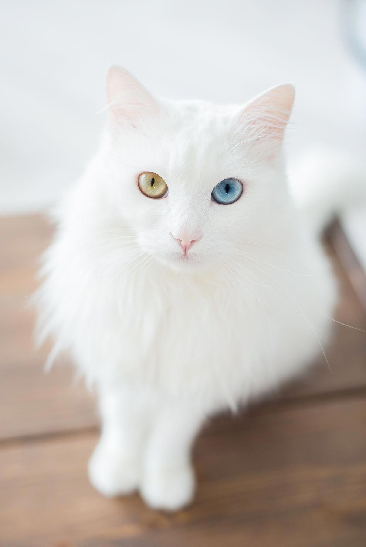 c075247262 Odd-eyed cats are felines with heterochromia iridum